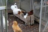 Mille med hendes kyllinger