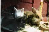 Mulle med kaninunger