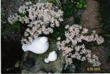 cotyledon southside seedling
