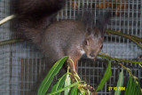 Mark Japanesse Squirrel