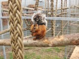 Costa Rica Squirrel