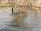 Wild Duck  Gudenå