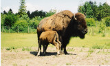 Løveparken. Bison