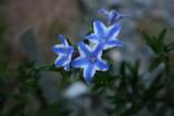 Lithodora diffusa Star