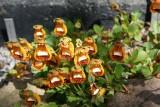 Calceolaria uniflora var. darwinii Walter Shrimpton