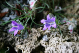 Edraianthus gramnifolius
