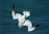 Welsh Gannets