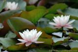 Water Lillies on Beaver Lake (Stanley Park)