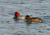 Redhead Duck Pair