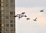 Redhead Ducks in Flight