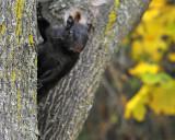 Curious black squirrel