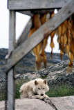 Hungry sledge hound eyeballing dry fish, Illulissat (Greenland)