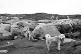 Sledge hound, Illulissat (Greenland)