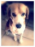 Begging beagle