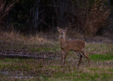 Yearling