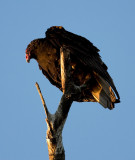 Turkey Vulture at sunset