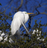 Great Egret Rookery at Audubon Park