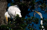Great Egrets during the mating season