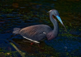 Tricolored Heron out Hunting