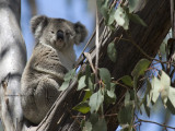 Koala_7394.jpg