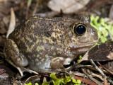 Trilling Frog, Neobatrachus sudellae