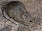Rattus tunneyi, Pale Field Rat