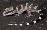 Family Gekkonidae; New World Geckos