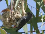 Mistletoebird, female at nest