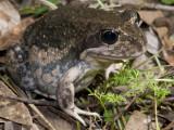 Eastern Banjo Frog Limnodynastes dumerill
