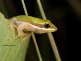 Dwarf Tree Frog, Drymomantis bicolor