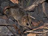 Red-cheeked dunnart, Sminthopsis virginiae