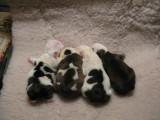 Angus x Terlingfair breeding 4M-3F 10/11/2008 Males 1.jpg