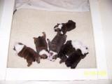 Angus x Cookie pups...DOB 7/11/09