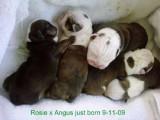 Angus x Rosie pups DOB 09/11/09