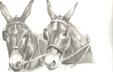 pencil drawing by cindy holyoak from a photograph