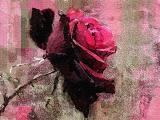 perfect rose-.jpg
