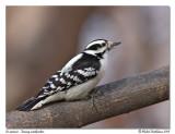 Pic mineur  Downy woodpecker