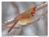 Cardinal rouge  Northern cardinal