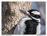 Pic chevelu  Hairy woodpecker