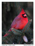 cardinal rouge  Northern cardinal