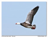 Oie des neiges  Snow goose