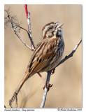 Bruant chanteur  Song sparrow