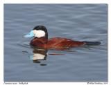 Érismature rousse  Ruddy duck