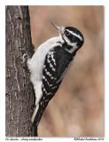 Pic chevelu  Hairy woodpecker