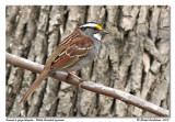 Bruant à gorge blanche  White throated sparrow