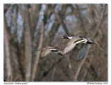 Canard pilet - Northern pintail