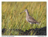 Bécassin roux / Short-billed Dowitcher