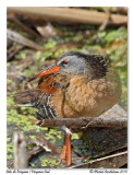 Râle de Virginie / Virginia Rail