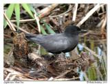 Guifette noire  Black Tern