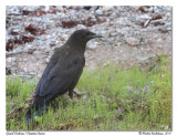 Grand Corbeau - Common Raven